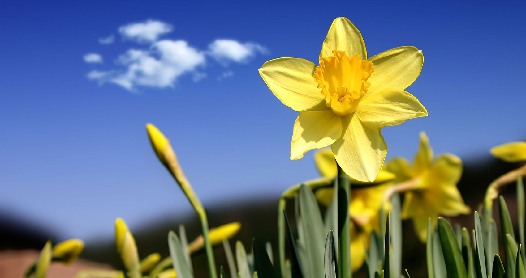 I Wandered Lonely As A Cloud ( Daffodils) at Spillwords.com