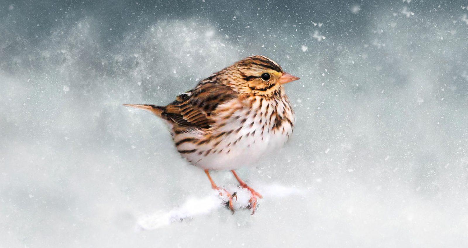 January's Sparrow