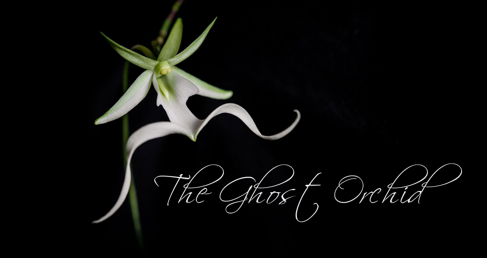 The Ghost Orchid by Leanne Yeoman at Spillwords.com