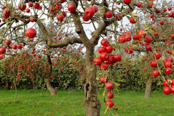 Isle Of Apples, by Phillip Dodd at Spillwords.com