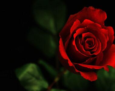 Red, Red Rose a sonnet written by Robert Burns at Spillwords.com