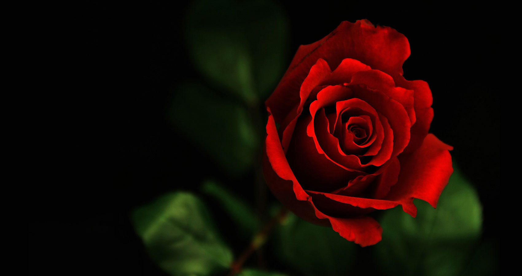 Red, Red Rose a sonnet written by Robert Burns at Spillwords.com