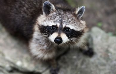 Ode to a Dead Racoon by S.K. Clarke at Spillwords.com