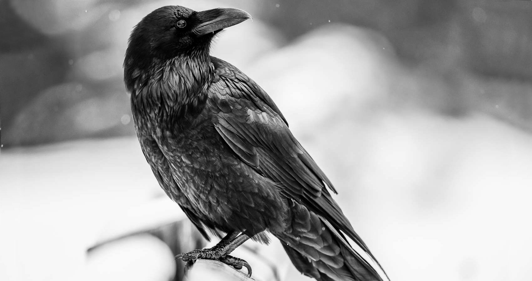 Raven written by Stanley Wilkin at Spillwords.com