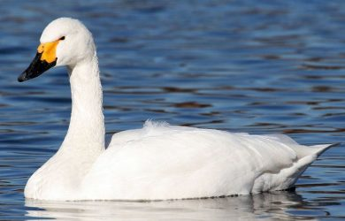 The Swan King written by LadyLily at Spillwords.com
