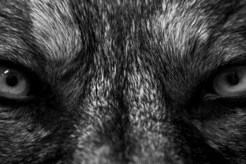 Wolves written by Dead Novels at Spillwords.com