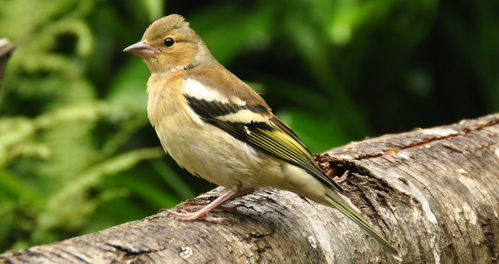 The Chaffinch written by Gordana Kokich at Spillwords.com