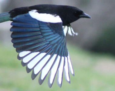 Dead Magpie written by Polly Oliver at Spillwords.com