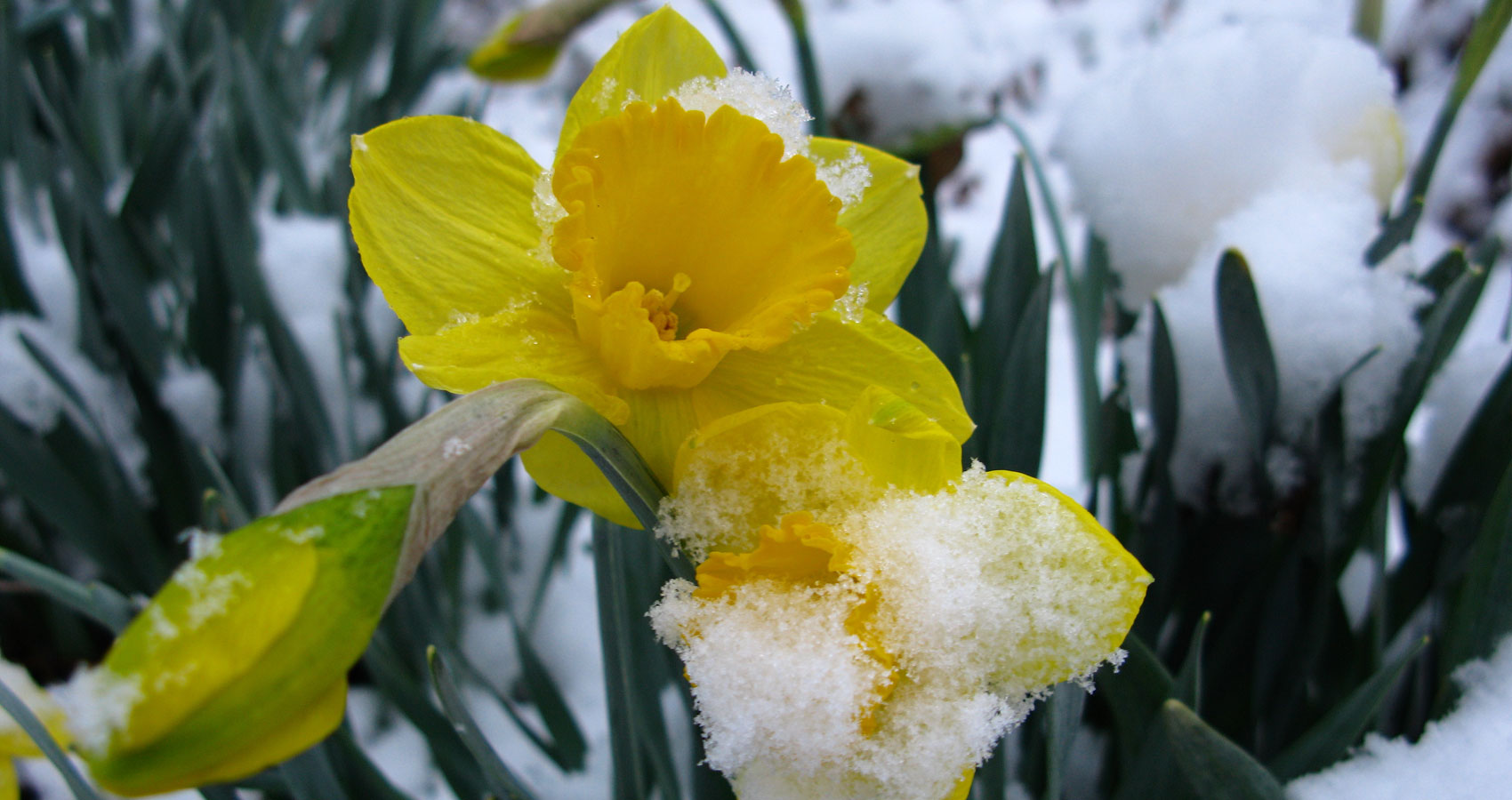 Daffodil on Waking written by Joyce Butler at Spillwords.com