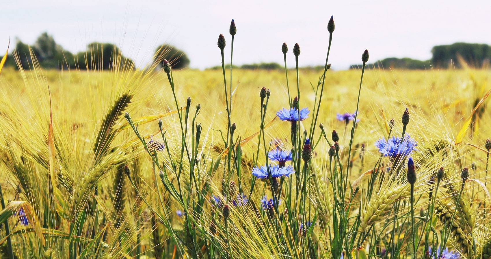 Flinders Field written by hedgehogat Spillwords.com