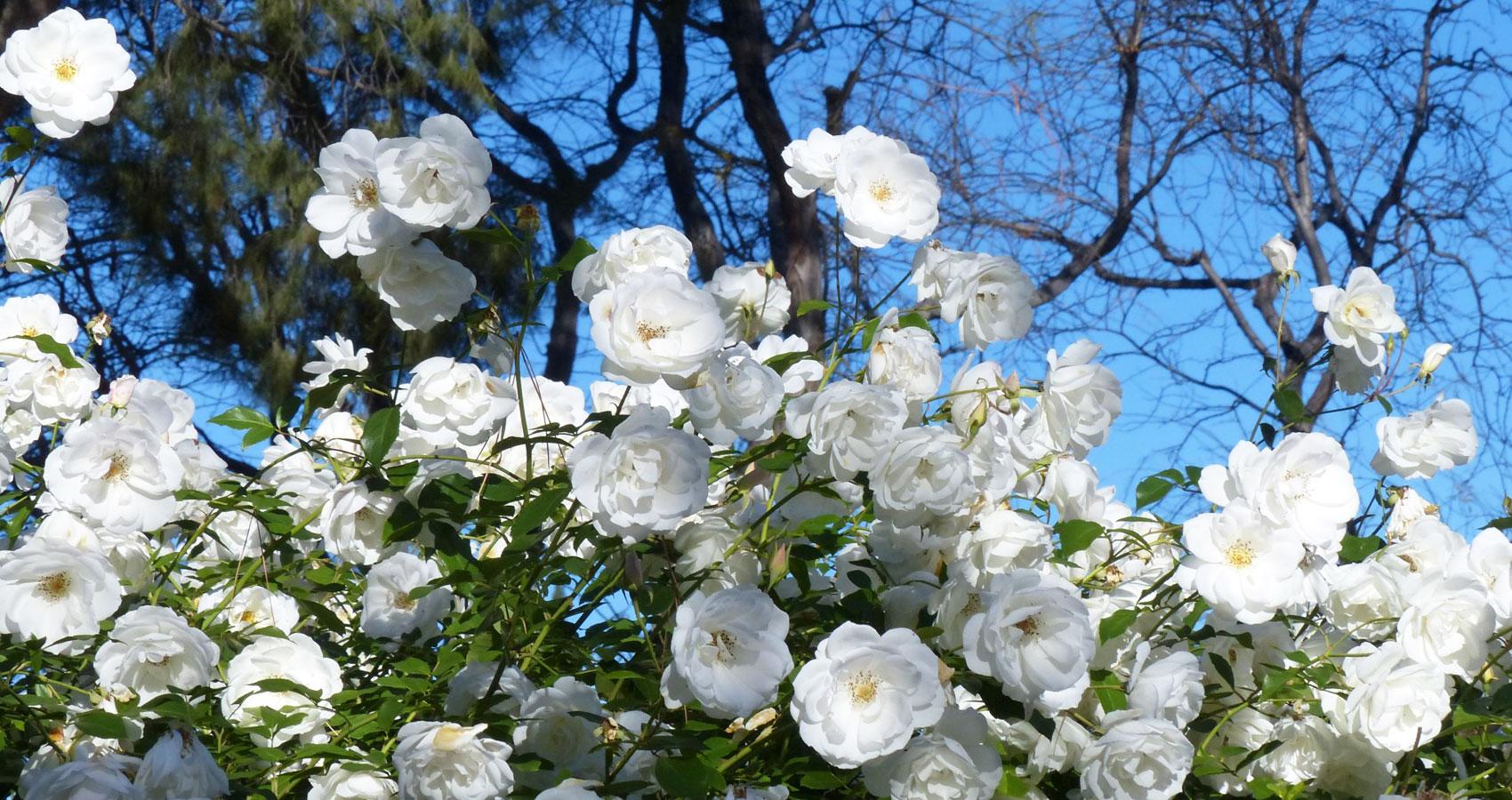 White Roses by Ann Christine Tabaka at Spillwords.com