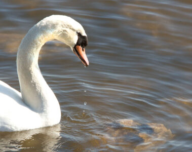 SACRED SWAN written by Stanley Wilkin at Spillwords.com