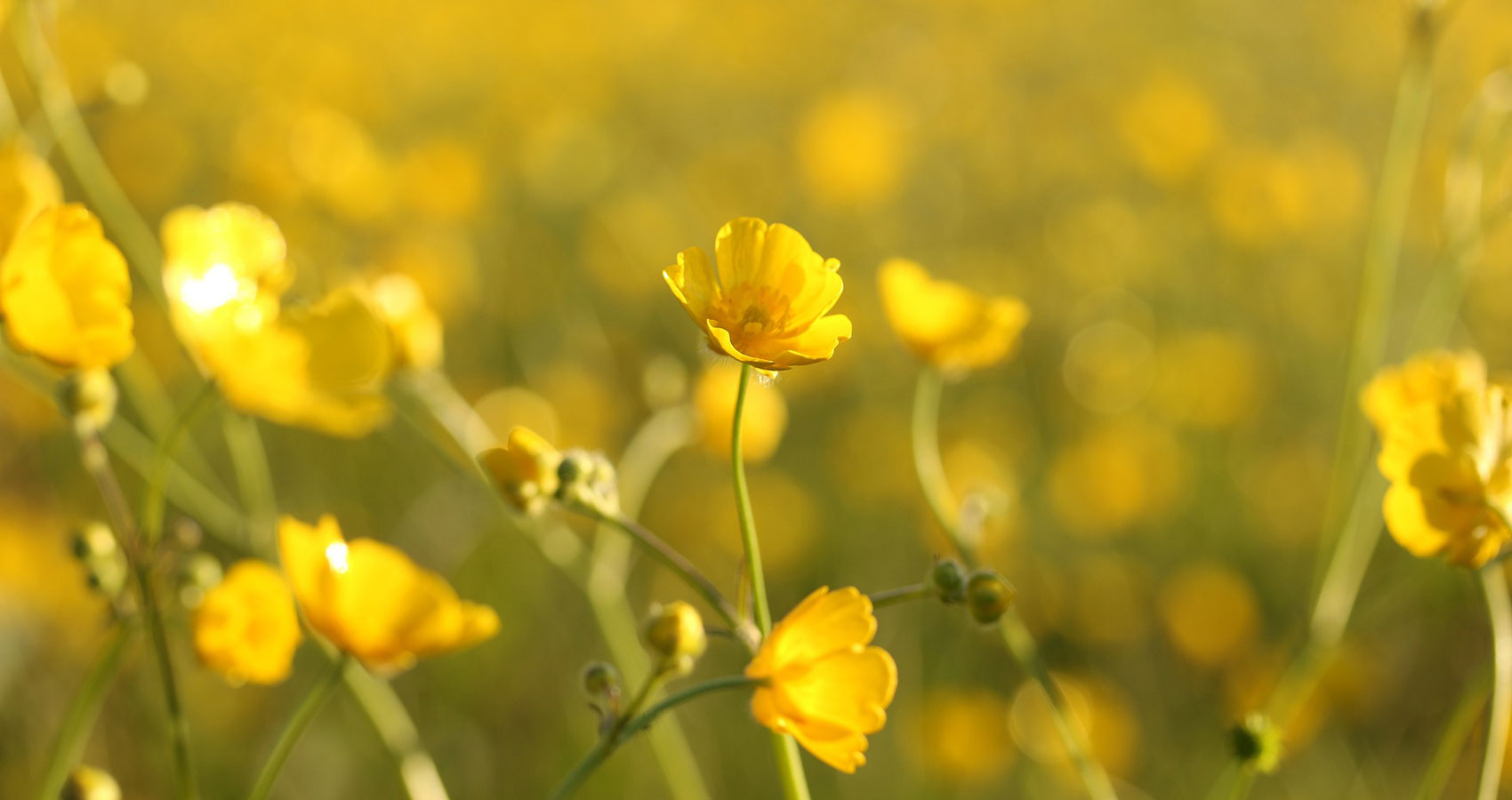 Fields of Gold written by Steve Pearson at Spillwords.com