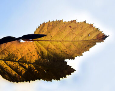WHEN THE AUTUMN LEAF TURNS BLACK, by Madhumita at Spillwords.com