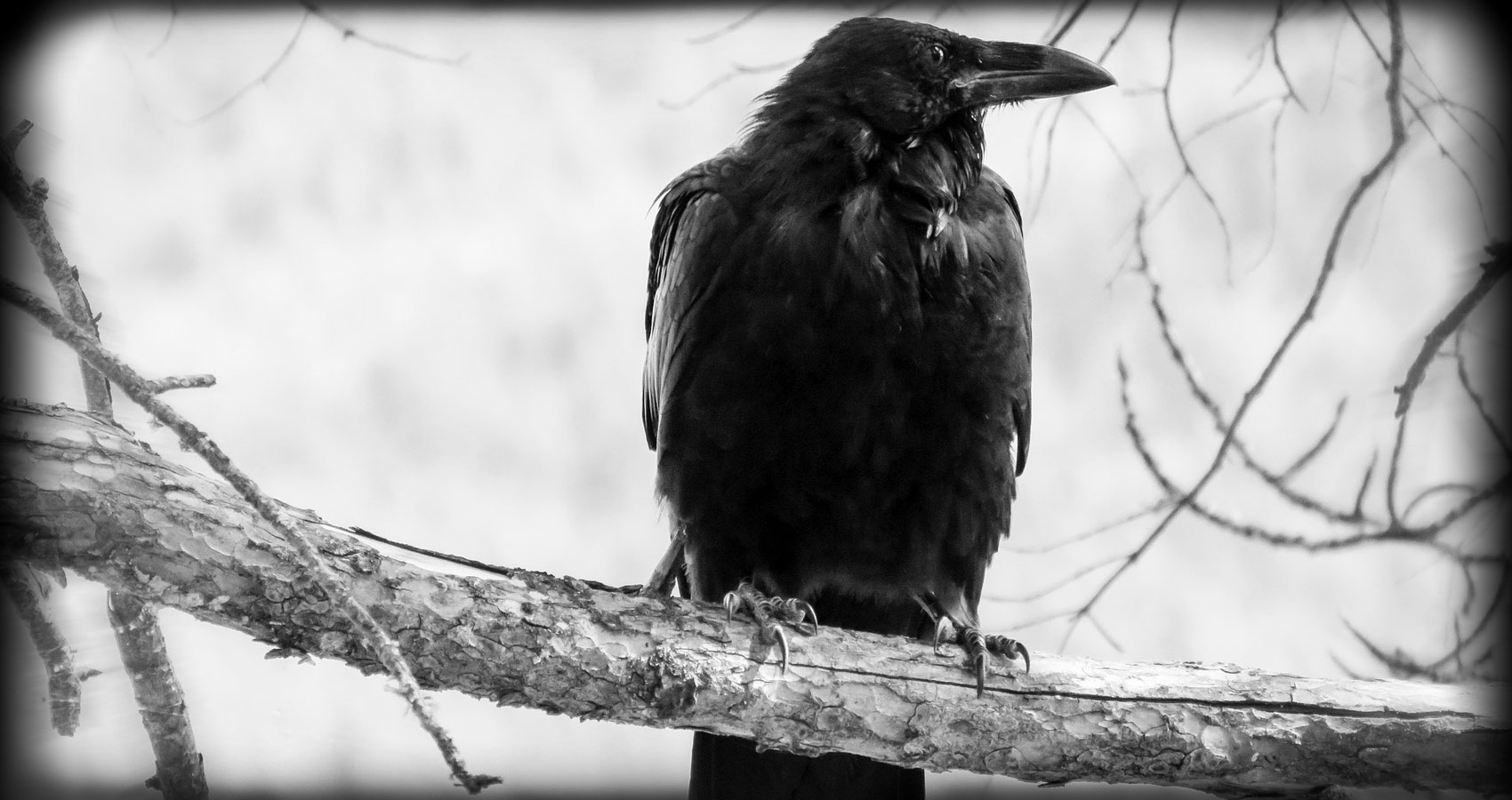 CAW written by Siva Wrightat Spillwords.com