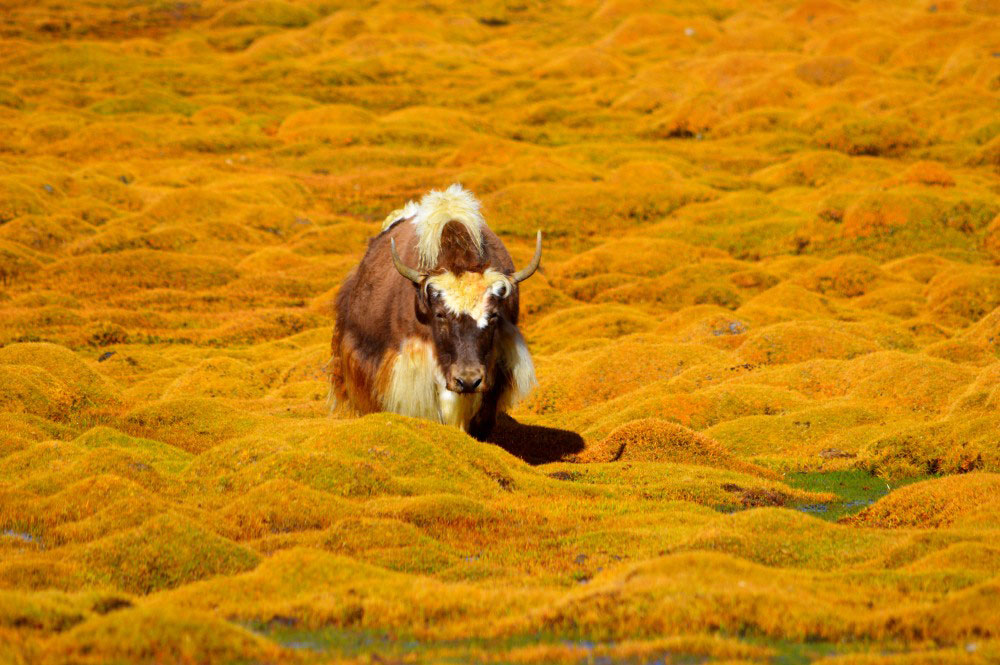 Yak - Glimpse of the Wild Wild East... at Spillwords.com