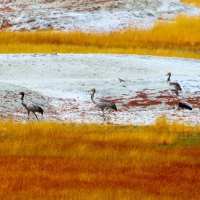 Black-necked crane family - Glimpse of the Wild Wild East... at Spillwords.com