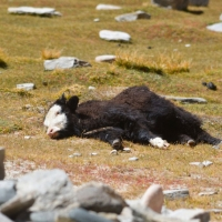 Young yak - Glimpse of the Wild Wild East... at Spillwords.com