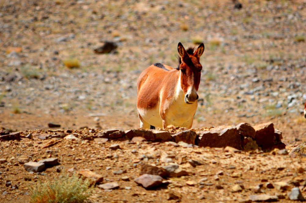 Tibetan wild ass - Glimpse of the Wild Wild East... at Spillwords.com