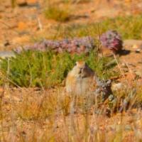 Ladak pika - Glimpse of the Wild Wild East... at Spillwords.com
