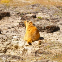 Marmot - Glimpse of the Wild Wild East... at Spillwords.com