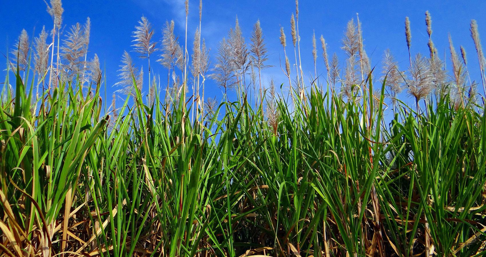Sugar Cane written by Aurora Kastaniasat Spillwords.com