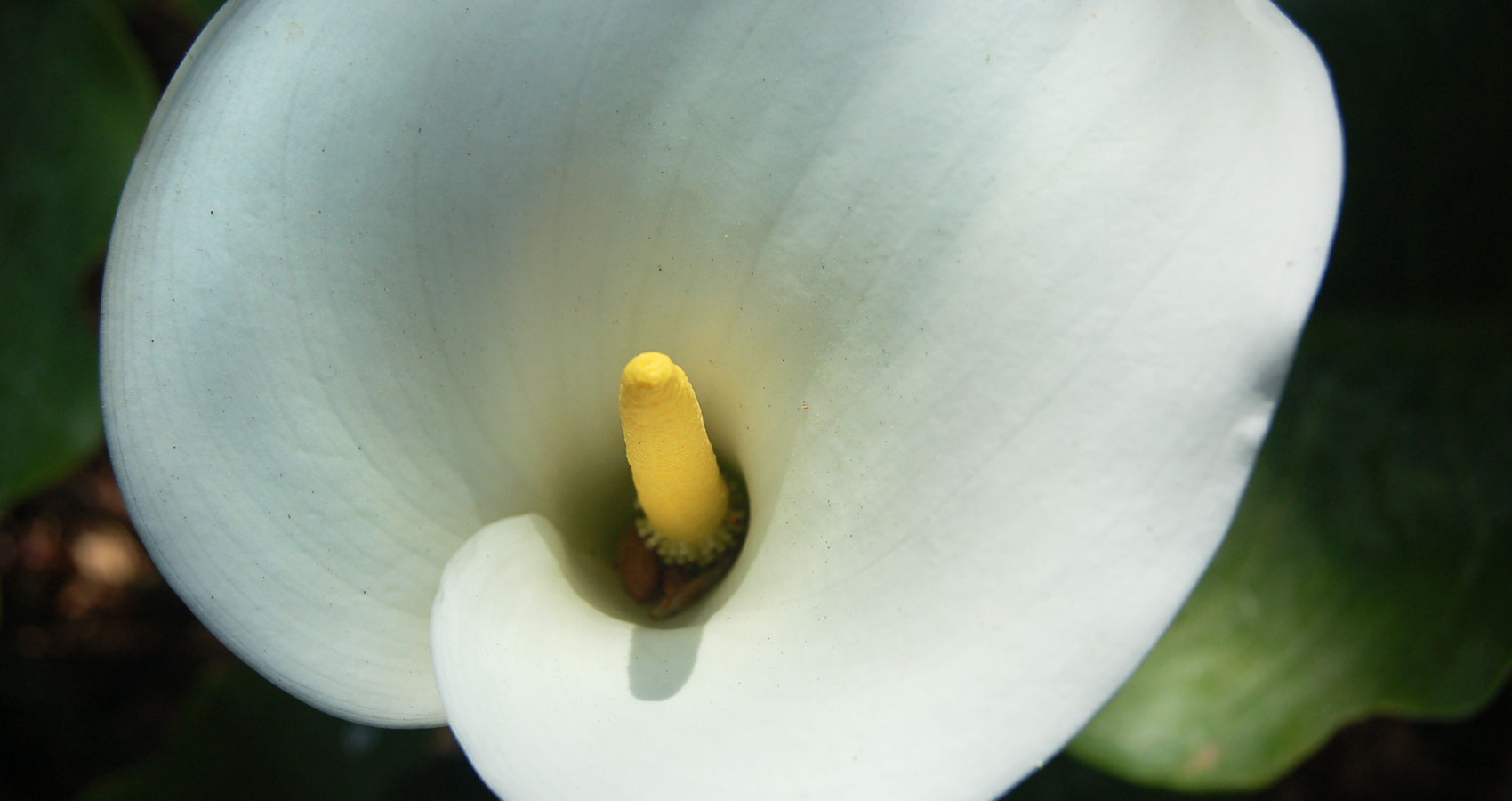 Calla written by L.M. Giannone at Spillwords.com