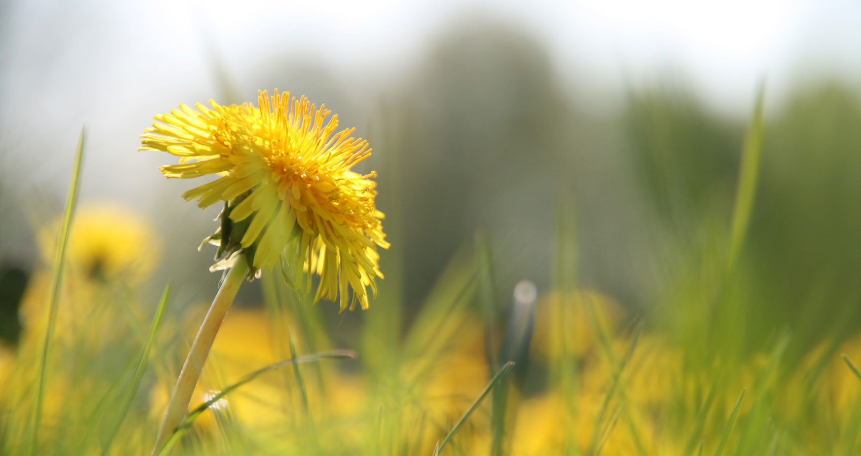 Dandelion Flower written by Aparna Reddy at Spillwords.com