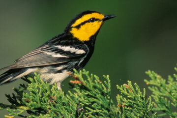 THE LOVE SONG OF A WARBLER, by Dr Santosh Bakaya at Spillwords.com