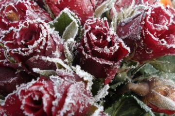 Parkland's Valentine's Day Roses by Charlie Bottle at Spillwords.com