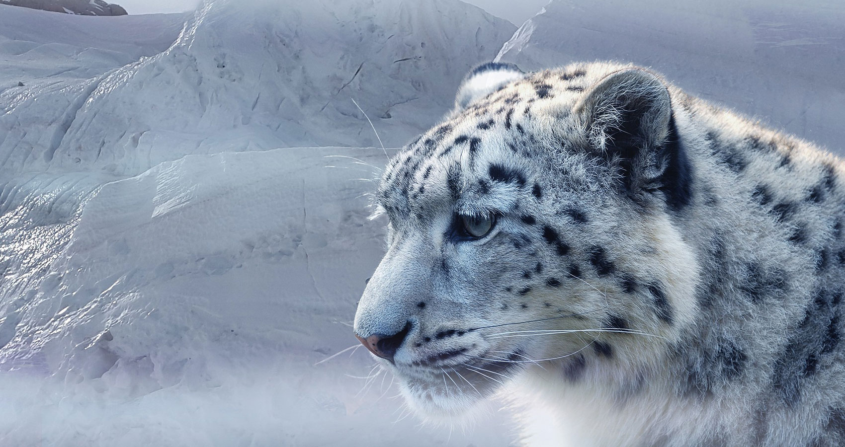 The Snow Leopards written by Doug Donnan at Spillwords.com