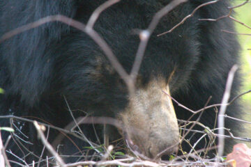 Bear Mama's Grit... by Nishand Venugopal at Spillwords.com