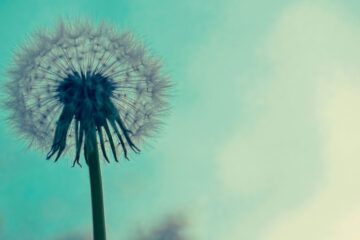 Dandelion, a short story written by R.E Hengsterman at Spillwords.com