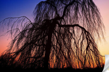 The Willow That Weeps by Laura Hughes at Spillwords.com
