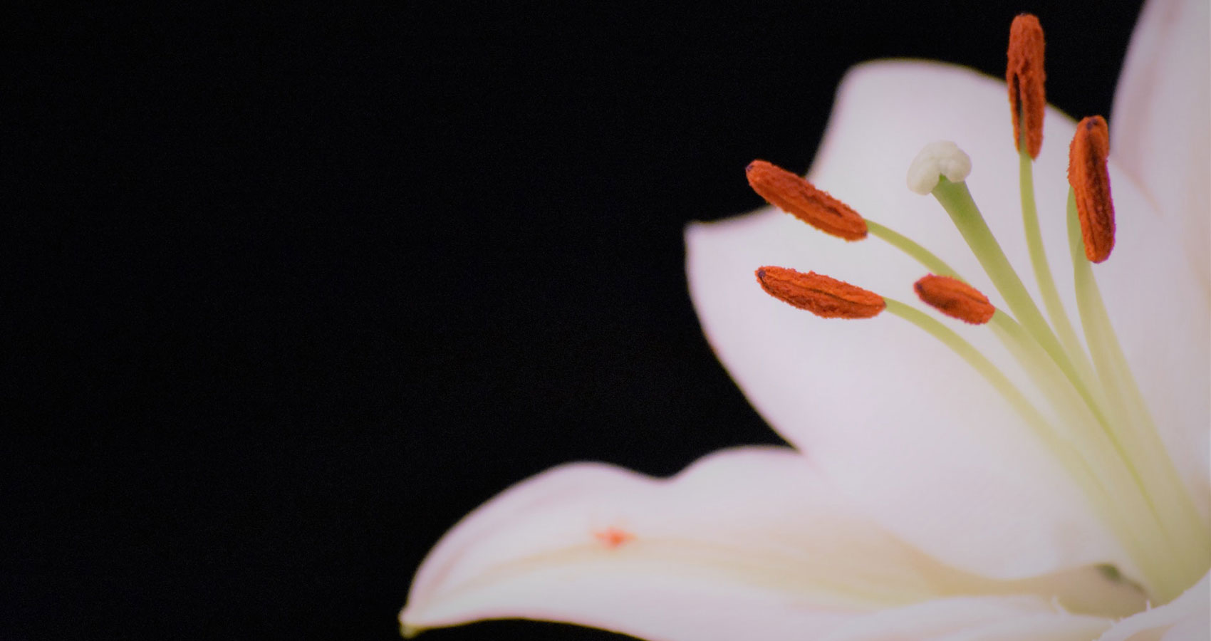White Lilies, a micropoem written by James Bell at Spillwords.com