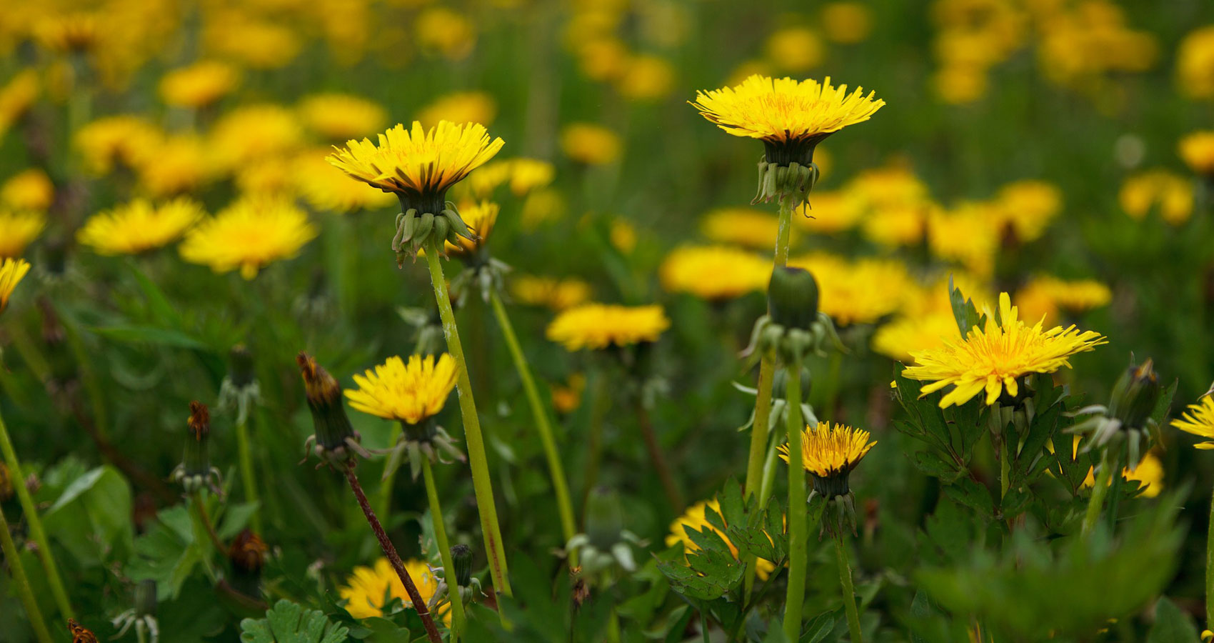 Dandelions, a short story written by Rob Gerke, Jr. at Spillwords.com