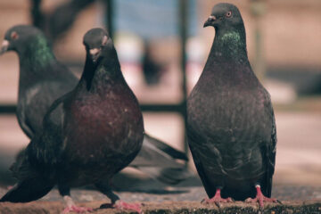 Mother's Pigeons written by Nivedita Das at Spillwords.com