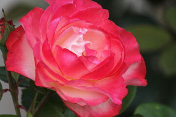 Roses and Chains, a poem by huntersjames at Spillwords.com