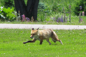 The Red Fox, written by John R. Cobb at Spillwords.com
