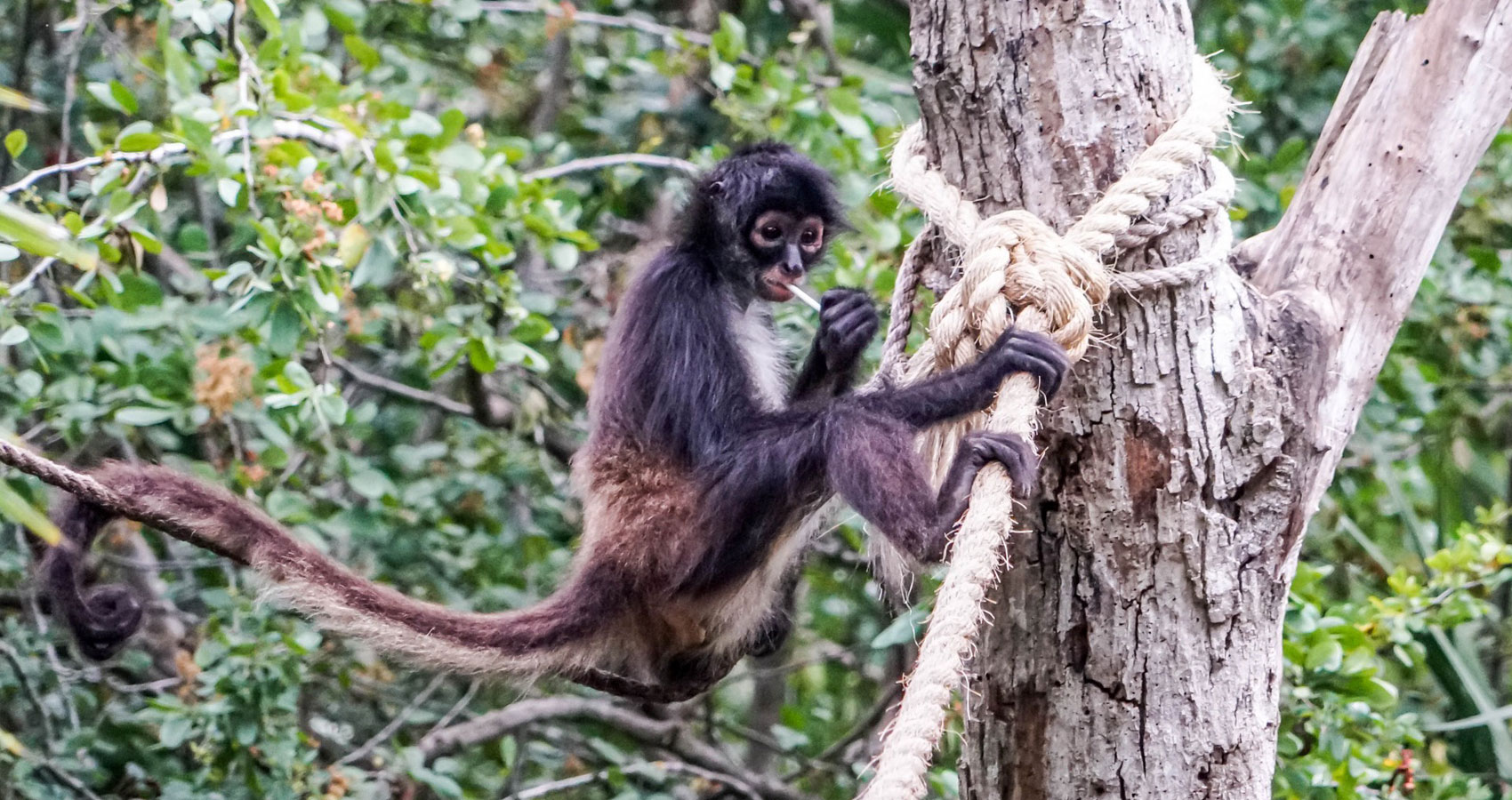 Dangling Monkeys, micropoetry written by Mary Bone at Spillwords.com