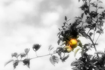 An Apple Orchard, a poem written by Janina Osewska at Spillwords.com