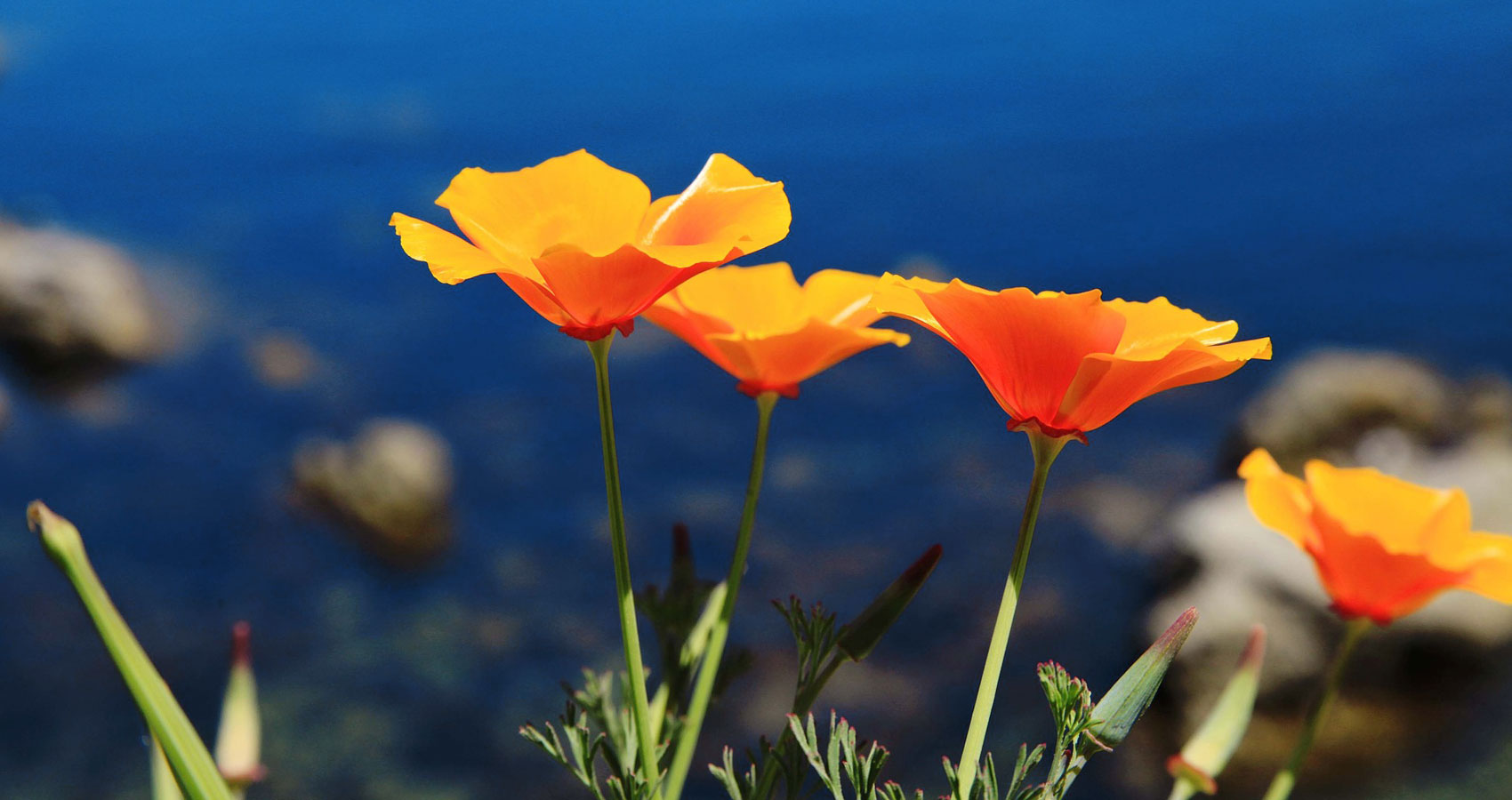 California Poppies, a poem written by Fotoula Reynolds at Spillwords.com