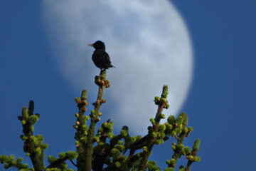 Under The Spring Moon, poetry written by LadyLily at Spillwords.com