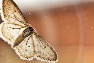 Moth - A Sonnet, poetry written by Polly Oliver at Spillwords.com