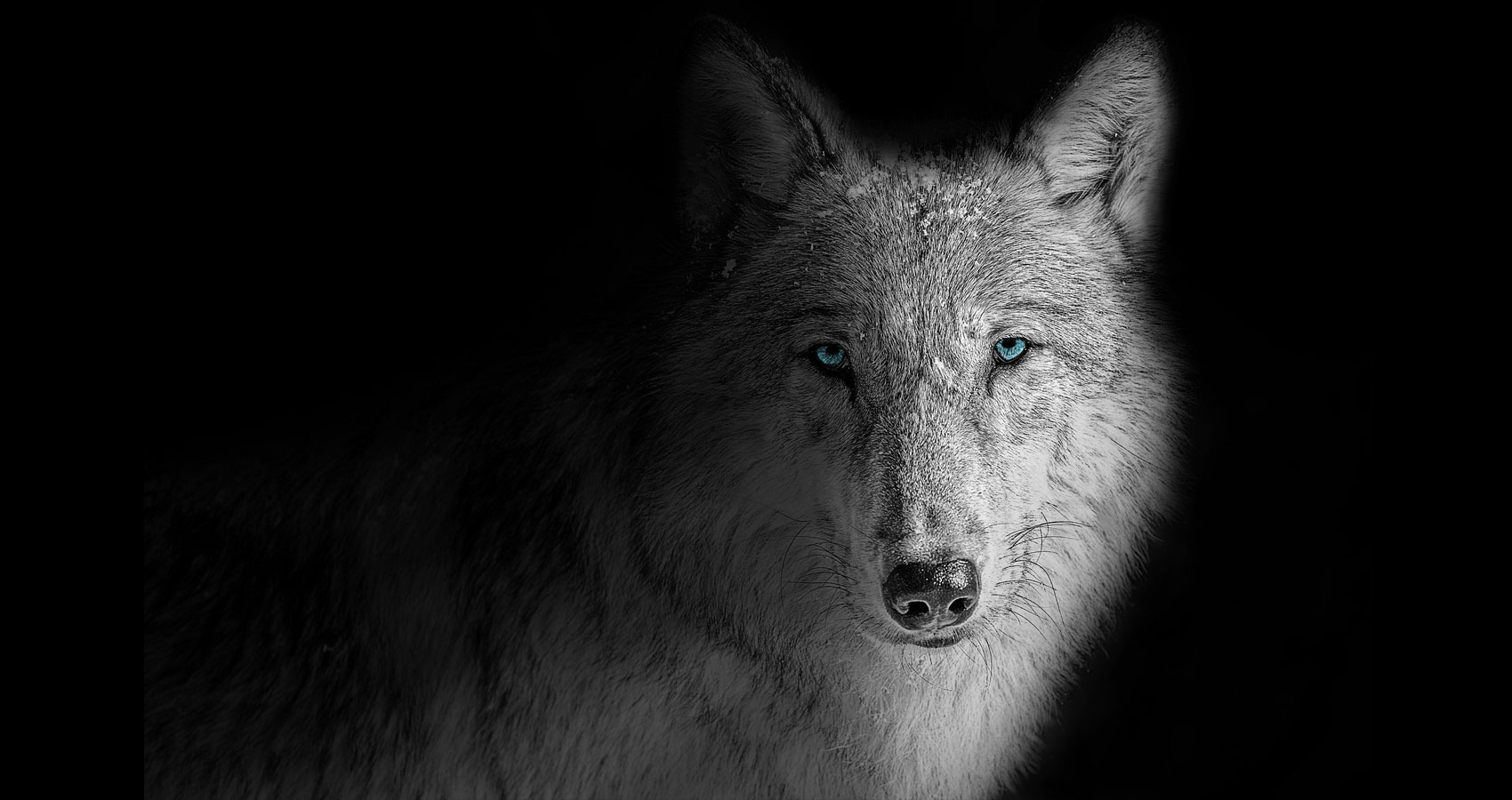 Shadow Wolf, a poem written by James F. Cunningham at Spillwords.com