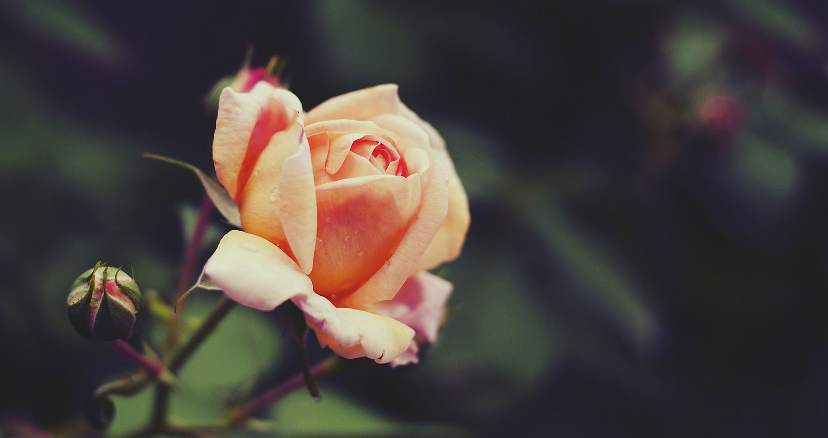 A Rose, a poem written by Magdalena Podobińska at Spillwords.com