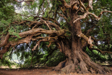 Old Tree, micropoetry written by Mitch Bensel at Spillwords.com
