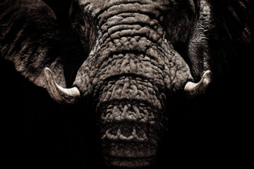 The Tusker's Tale, poetry written by Nishand Venugopal at Spillwords.com