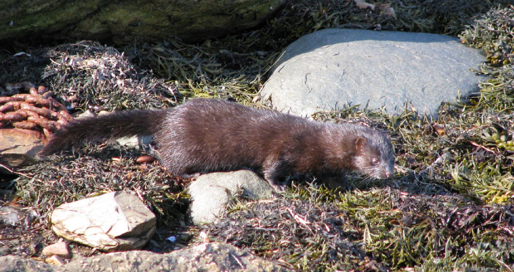 American Mink, a haiku written by John R. Cobb at Spillwords.com