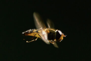 Busy bee, poetry written by Julie Powell at Spillwords.com